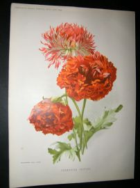Amateur Gardening 1895 Botanical Print. Carnation Poppies